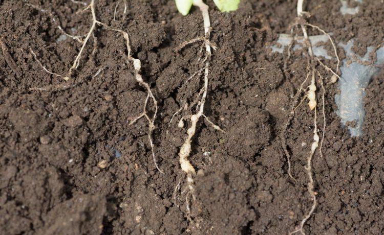 تمتص الجذور الماء من التربه عن طريق