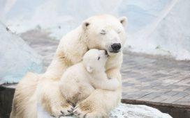 حدد كيف تكون درجة الحرارة عاملا محددا لنمو الدببة القطبية